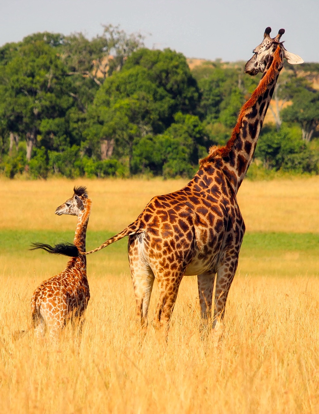 Picture of giraffe baby and mother.