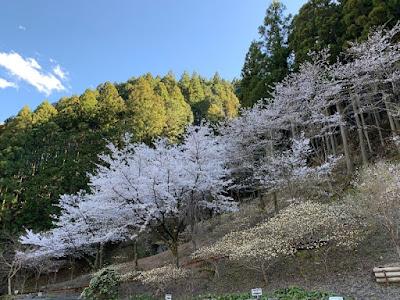 遊歩道の桜とミツマタ