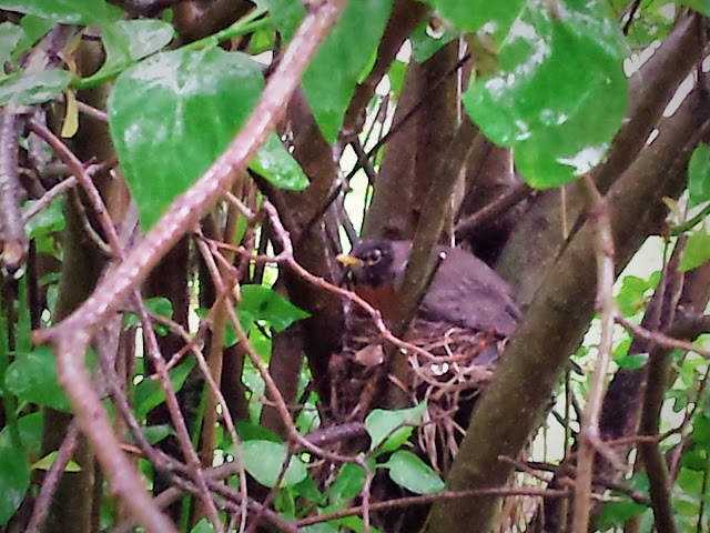 mother robin with her wings outstretched over the nest, protecting the baby robin from the rain