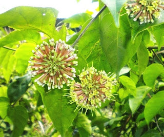 Tanaman gambir yakni tumbuhan merambat yang sering kita jumpai disekitar kita Manfaat dan Khasiat Tanaman Gambir (Uncaria Gambir Hunter R.)