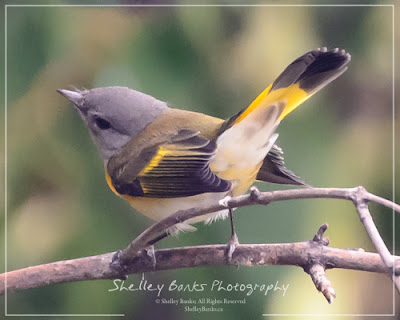 Female American Redstart. Copyright © Shelley Banks, all rights reserved,