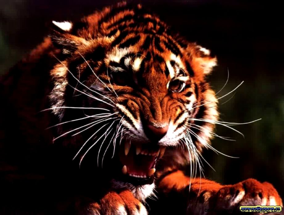 Angry Tiger Wallpaper Hd Amazing Wallpapers