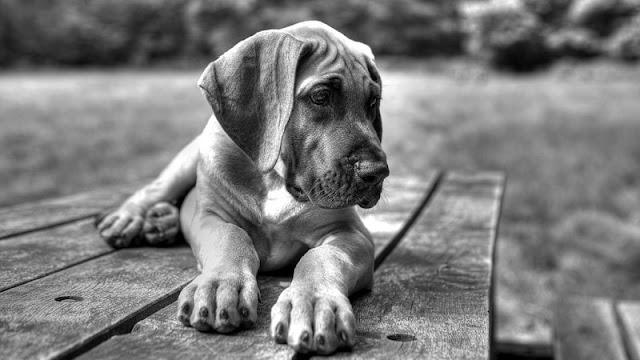 Foto anjing tua yang kelelahan
