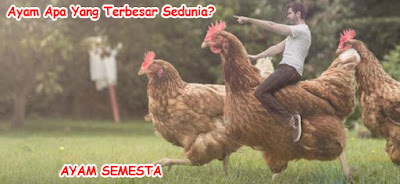 gambar lucu ayam
