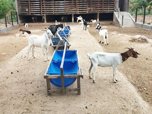 Agricultores de Delmiro Gouveia irão participar de seminário para discutir cadeia produtiva da ovinocaprinocultura