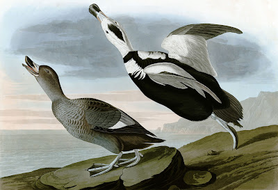 John James Audubon illustration Labrador Duck