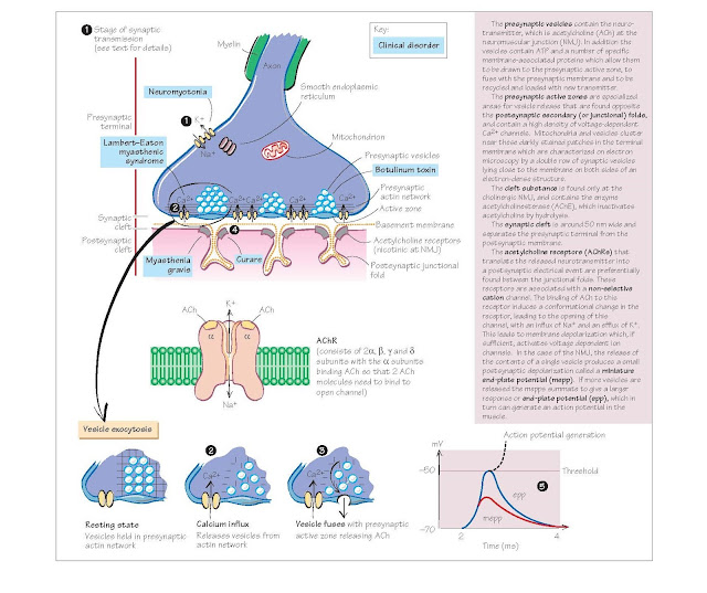 Neuromuscular Junction (NMJ) And Synapses