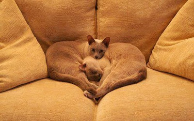gatos formando un corazón