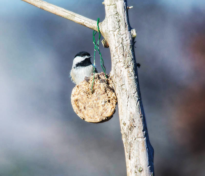 Carolina Chickadee on suet