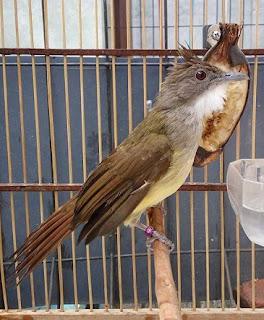 Suara Burung Cucak Jenggot Betina