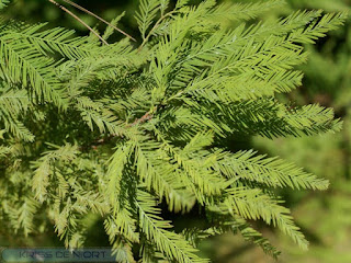 Cyprès chauve - Taxodium distichum