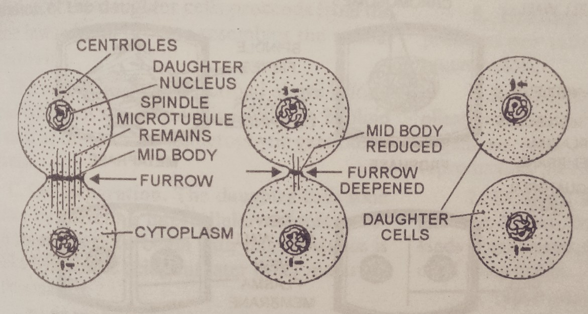 YOUR NOTES LIBRARY: Cell division in animal and plant
