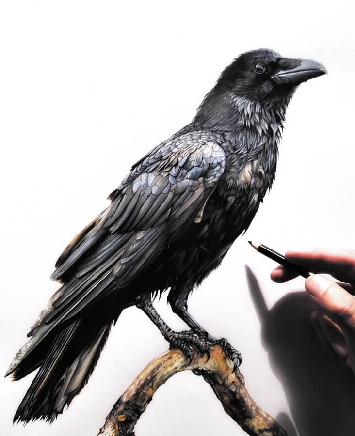 03-Raven-Tom-Strutton-Animal-Drawings-www-designstack-co
