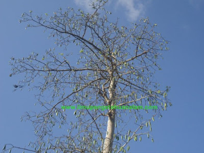 Pohon Randu Meranggas
