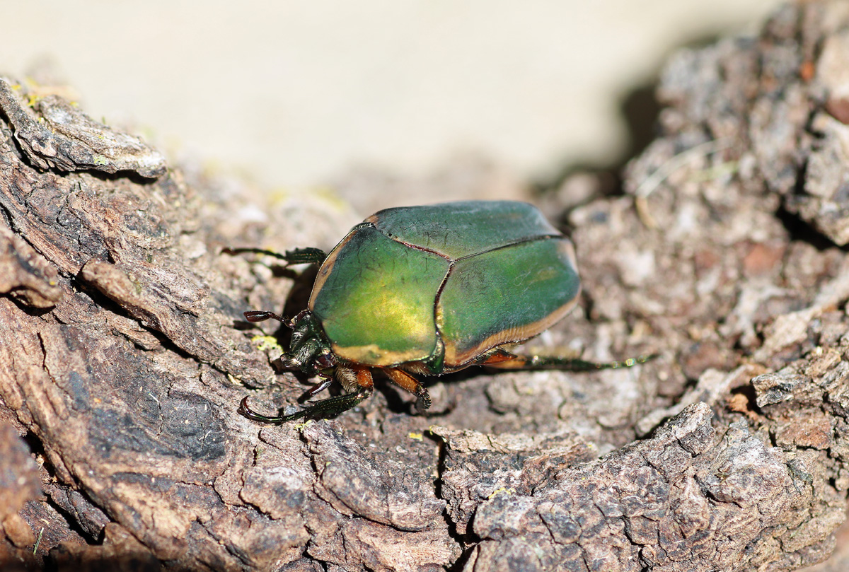 MObugs: Green June Beetle - photo#13