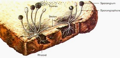 Ciri-Ciri dan Cara Reproduksi Zygomycota
