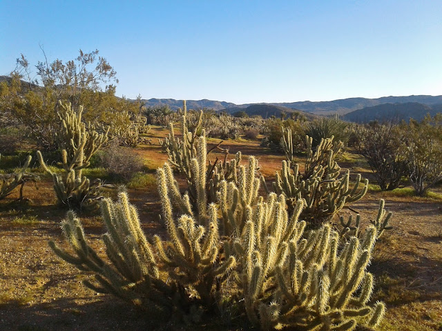 Cholla cactus in Blair Valley