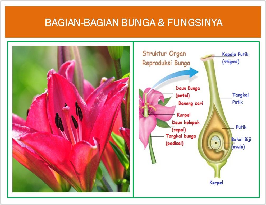 Gambar Macam Jenis Bunga Bagian Bunga Fungsinya Freewaremini