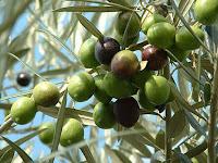 olive - die Olive - Olea europaea