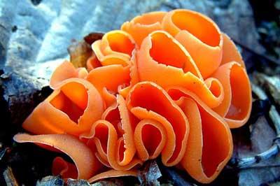Filum Ascomycota