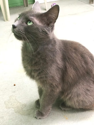 Gray cat up for adoption