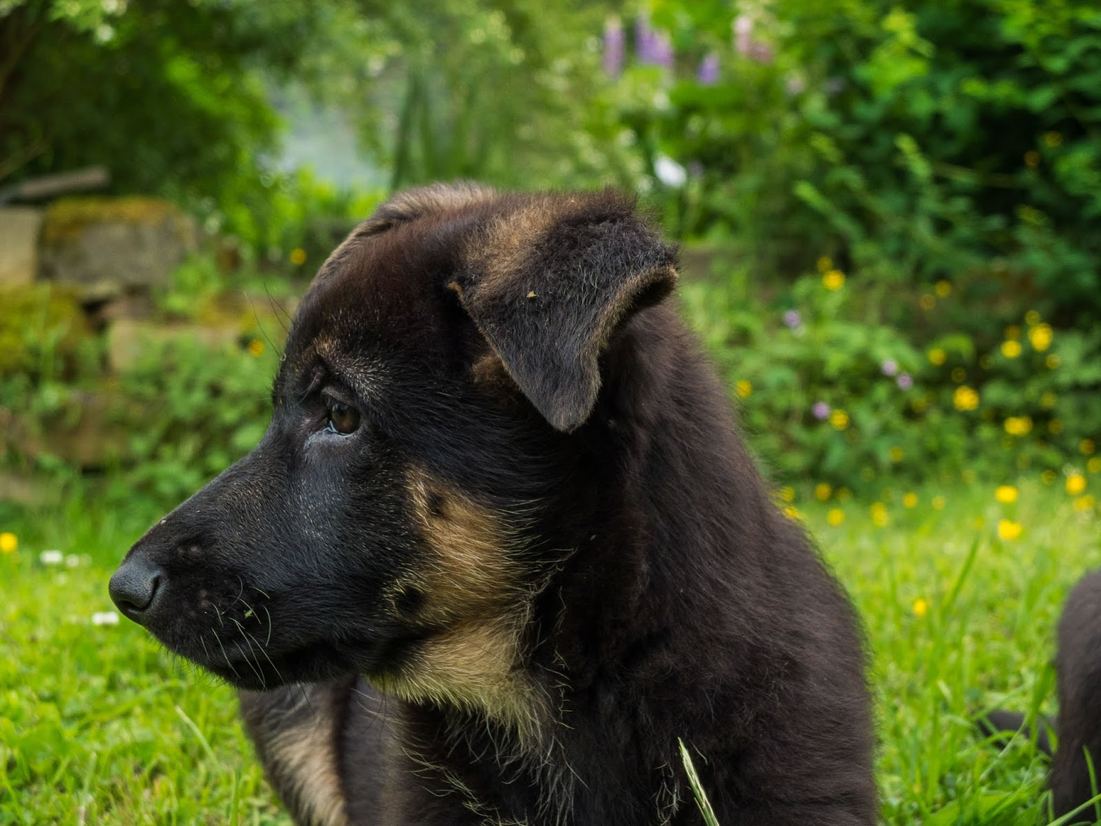 A two month old German Shepherd puppy face with ears down.
