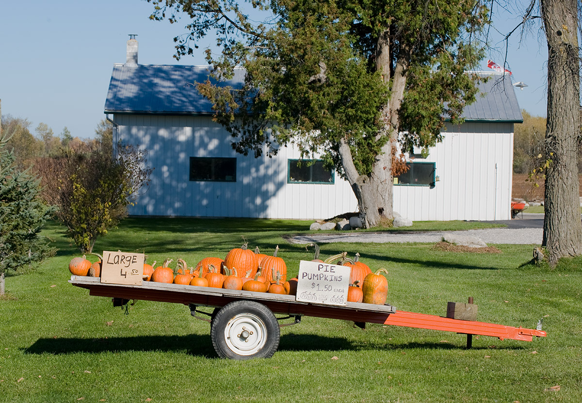 A local farmer has a wagon full of pumpkins for all those cooks getting ready to make their Thanksgiving pies.