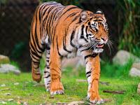 8 Keunikan Harimau Sumatera