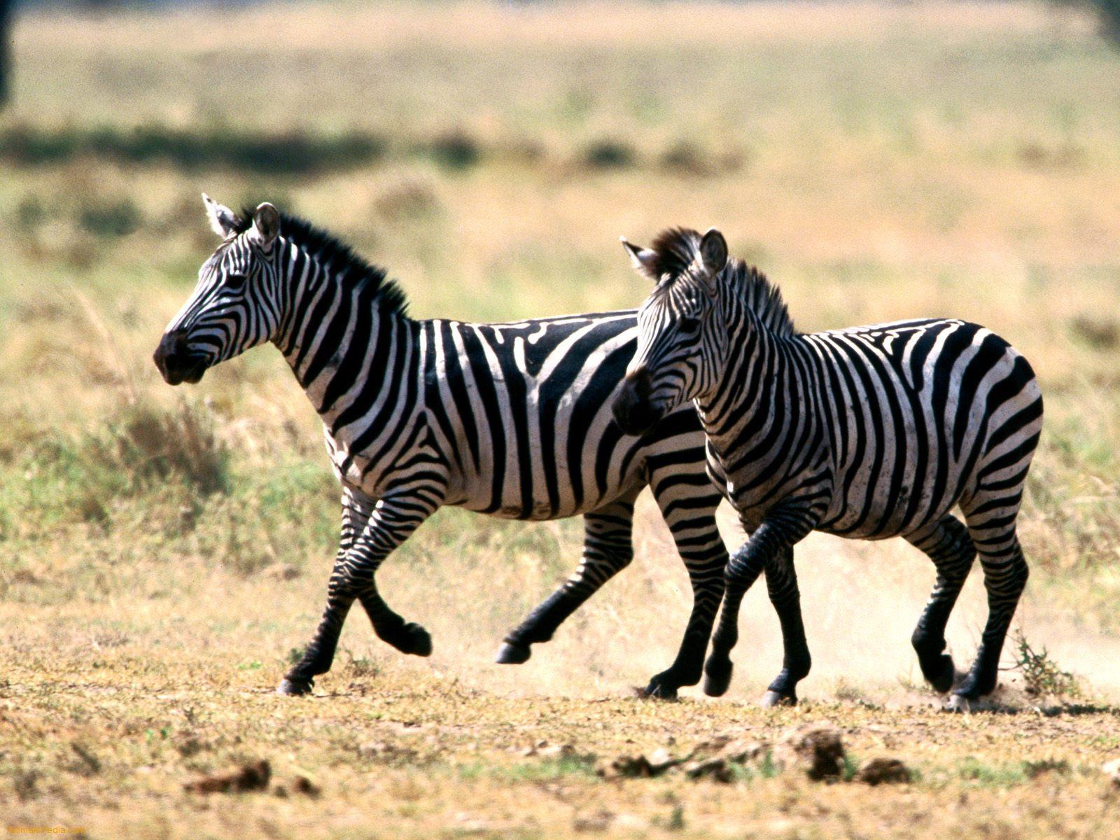 zebras animals zebra babies baby wild dangerous animal behavior strong mountain together zebres encyclopaedia many burchell