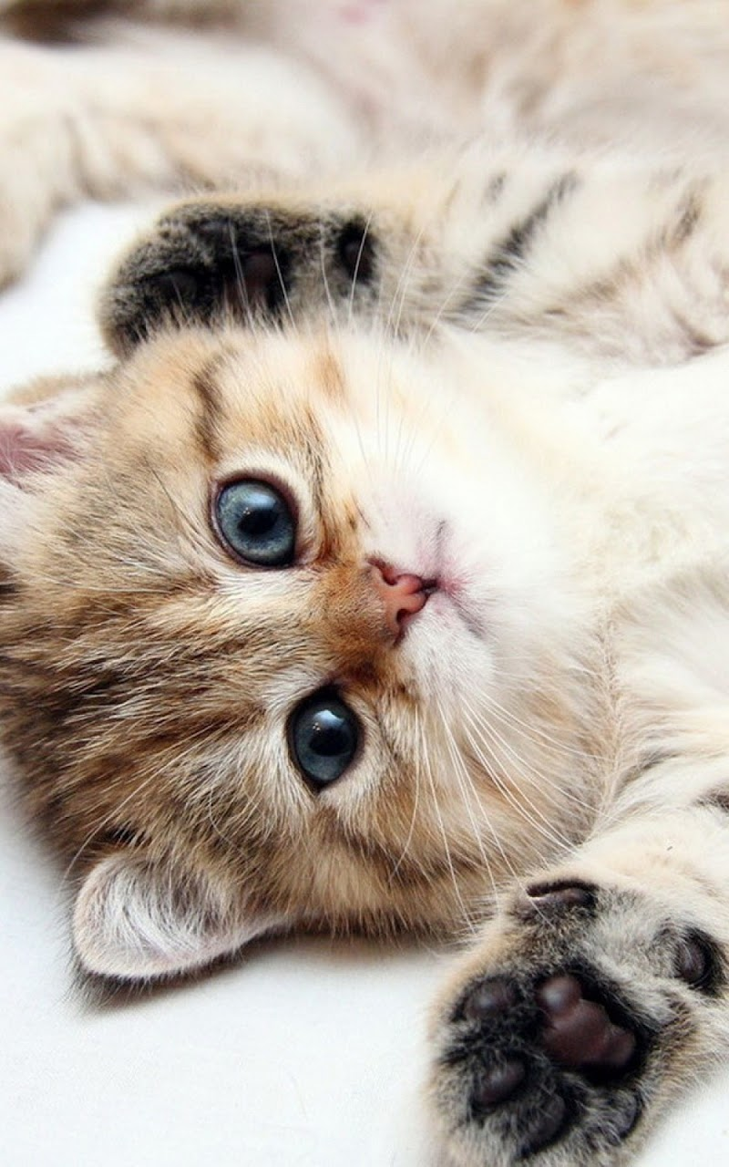 Cute Cats and Kittens Wallpaper Blue