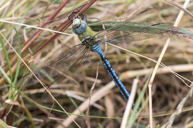 Emperor Dragonfly finishing off a meal