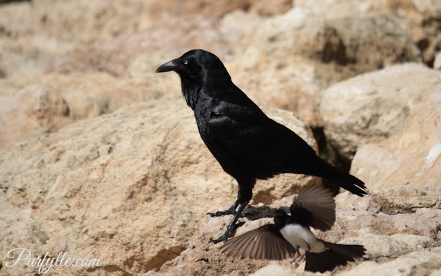 Willie wag tail attacks a raven