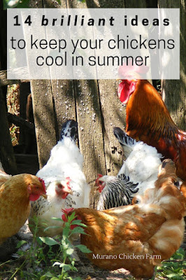 Chickens keeping cool in summer.