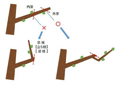 盆栽の剪定 内芽と外芽の説明