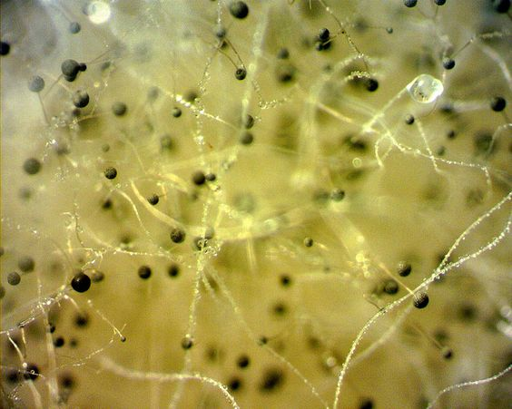 Rhizopus stolonifer