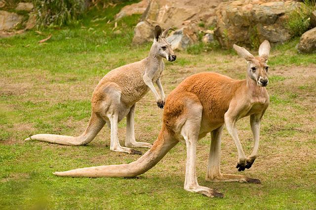 Giải mã ý nghĩa giấc mơ thấy Kangaroo