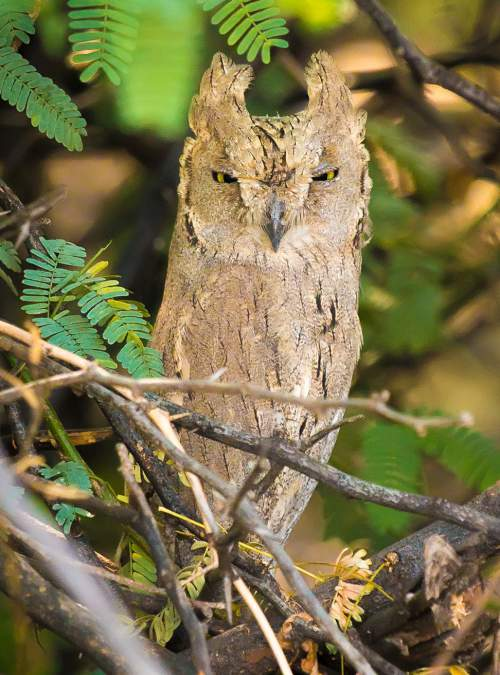 Birds of India - Image of Pallid scops owl - Otus brucei