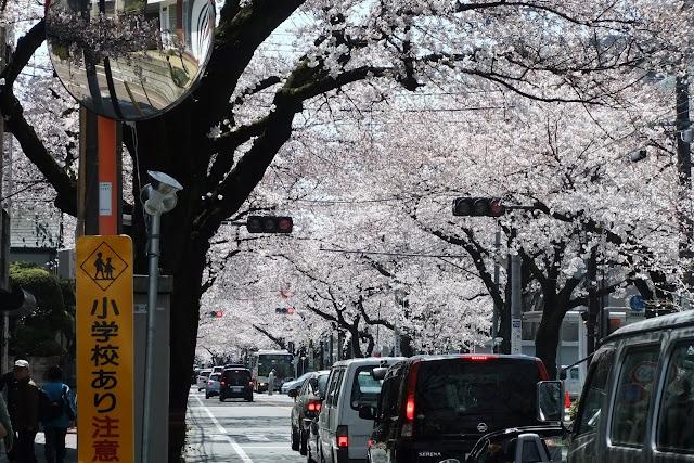 日本の桜 Sakura-Cherry blossom