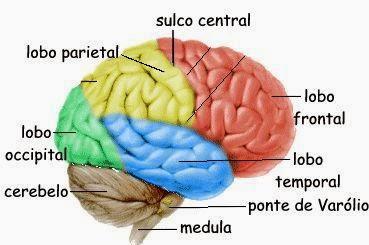 Cérebro, Estrutura Encefálica do Ser Humano