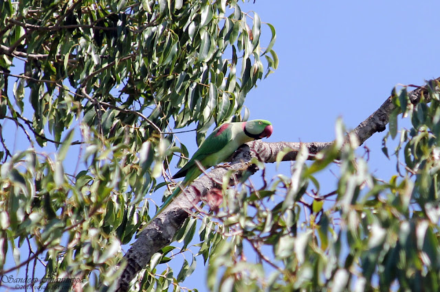 Alexandrine Parakeet perched high on the tree
