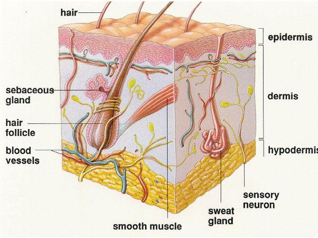 PNS Dilarang Obesitas, Peneliti: Kegemukan Pengaruhi Struktur Otak!