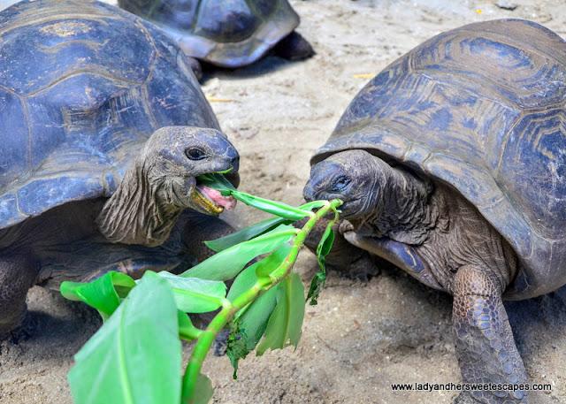 tortoise in Seychelles Botanical Garden