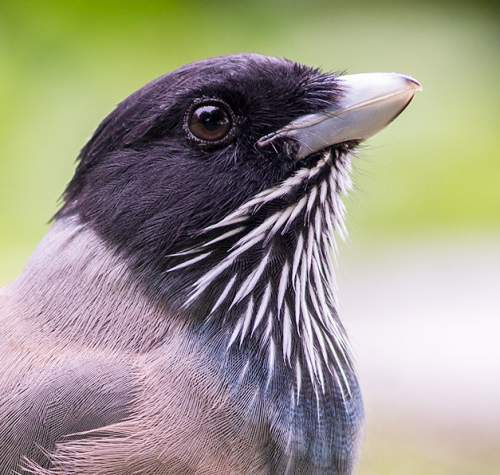 Birds of India - Image of Black-headed jay - Garrulus lanceolatus