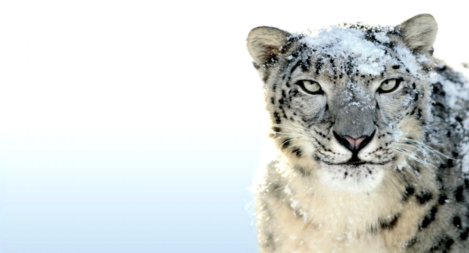 Cute Baby Snow Leopard Wallpaper Iphone Best Image Background