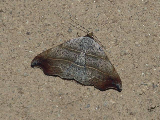 Sicheleule, Laspeyria flexula