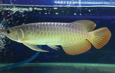 Arwana Salah Satu Ikan Air Tawar Purba