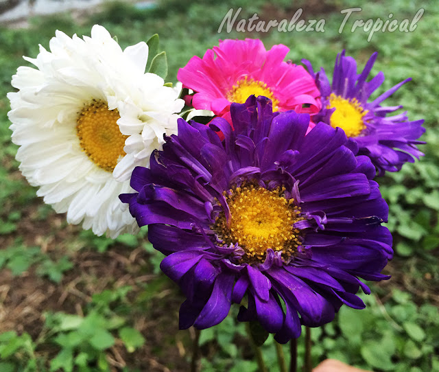 Flores de la Reina de las Margaritas, Callistephus chinensis