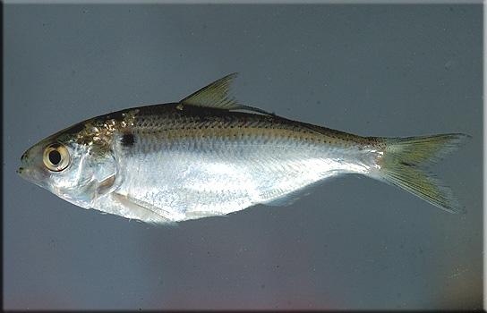 Tampa Urban Angler Wild Shiner Fishing The