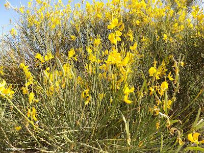 Μάιος-Σπάρτο: Βότανα και φαρμακευτικά φυτά της Ελλάδας