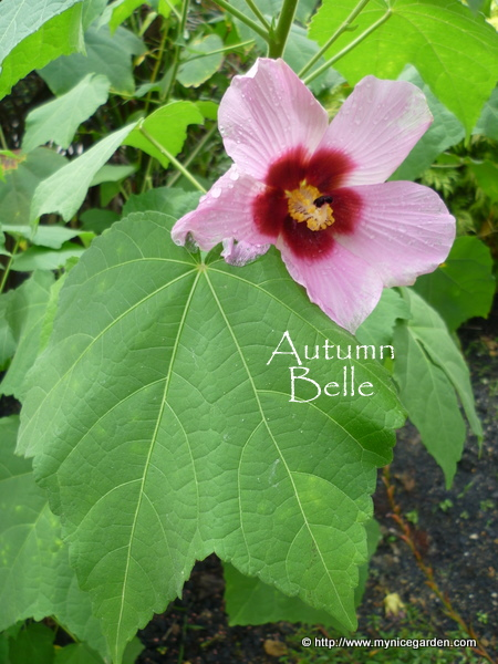 My nice garden hibiscus mutabilis a single flower variety that 3 ccuart Images